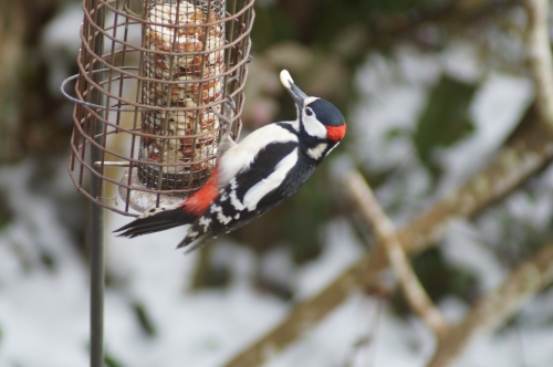 Woody Woodpecker - A regular visitor to the Badgers Sett garden